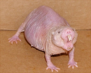 naked-mole-rat